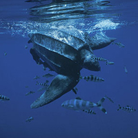 about Leatherback sea turtles, turtles nesting and turtles hatching