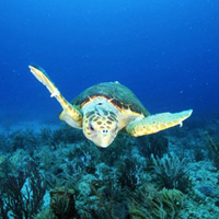 about the Loggerhead sea turtles, savetheseaturtles.org, turtles