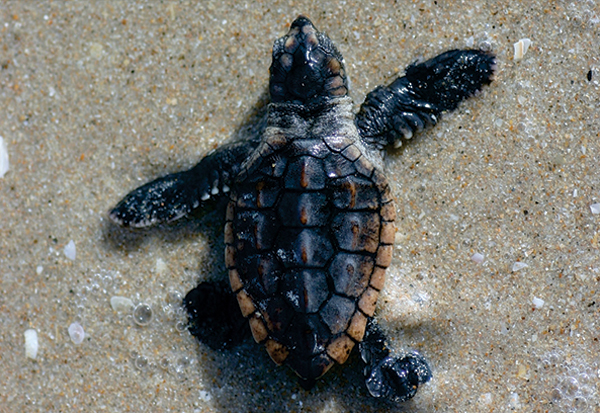 Sea Turtle Hatchling on his way to the ocean
