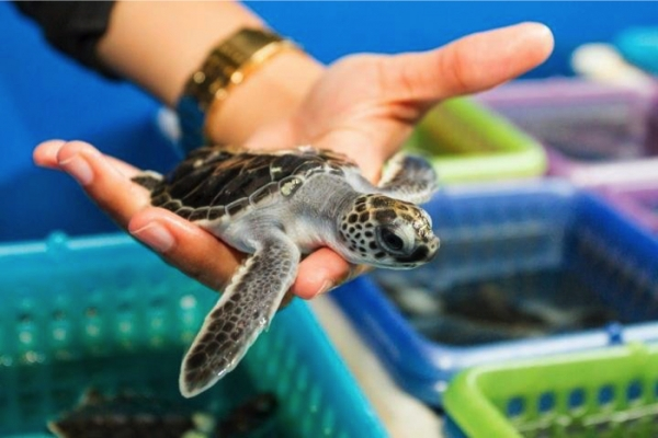 Sea Turtles, Reproduction and Climate Change
