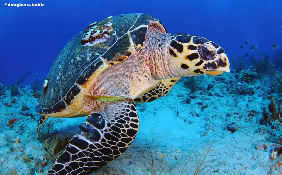 hawksbill, hawksbill sea turtle, hawksbill sea turtle project